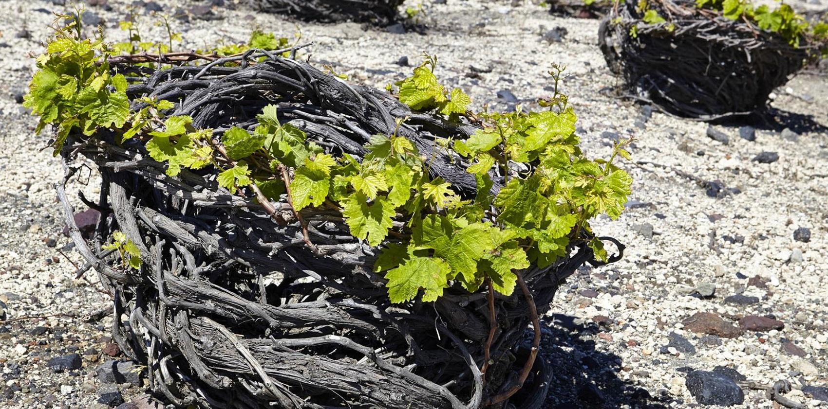 Santorini Wineries